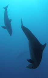playful dolphins - scuba diving st martin